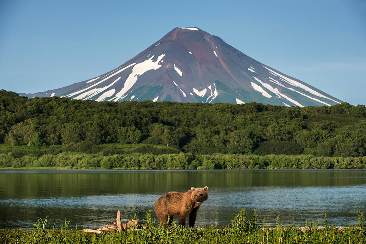 A bear at the Kuril Lake in Kamchatka