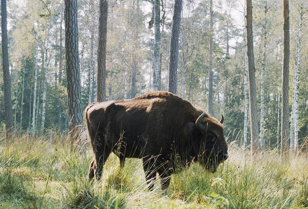 Le bison est l'emblème du Parc national de la forêt de Belovej, l'une des dernières forêts vierges d'Europe, 1989