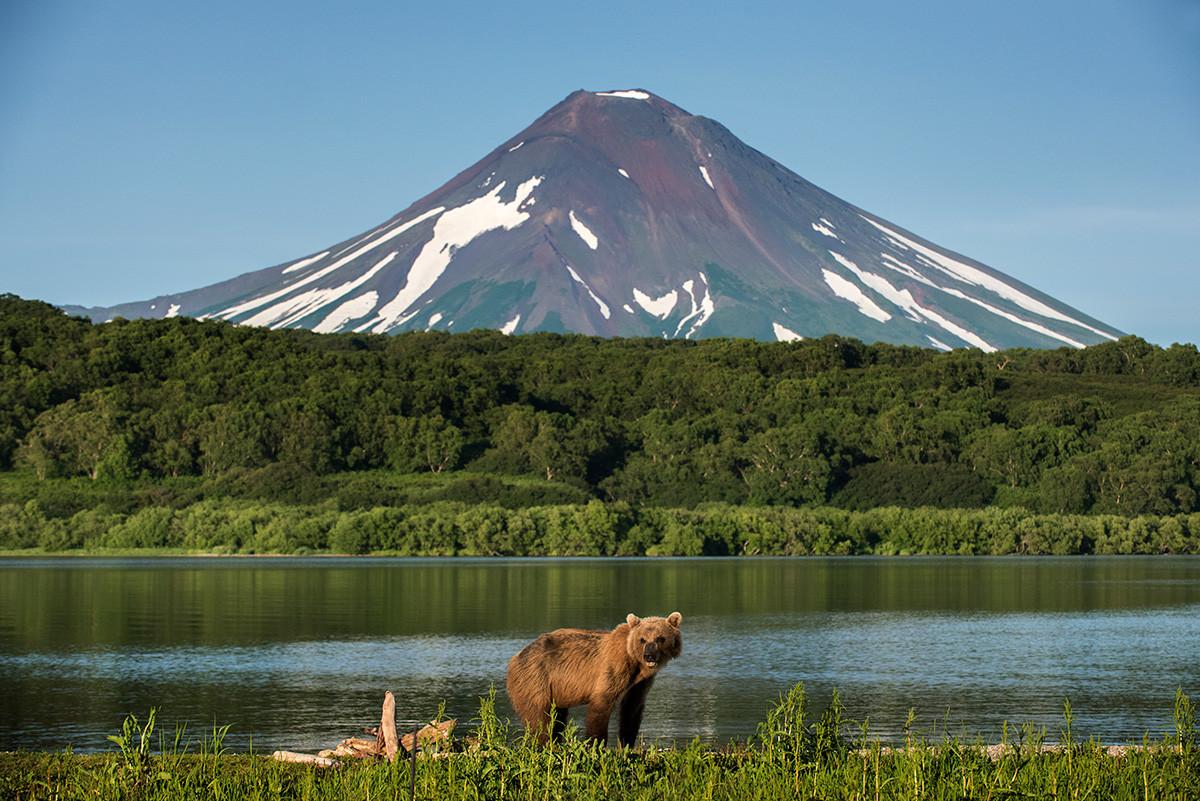 Medved ob Kurilskem jezeru na Kamčatki