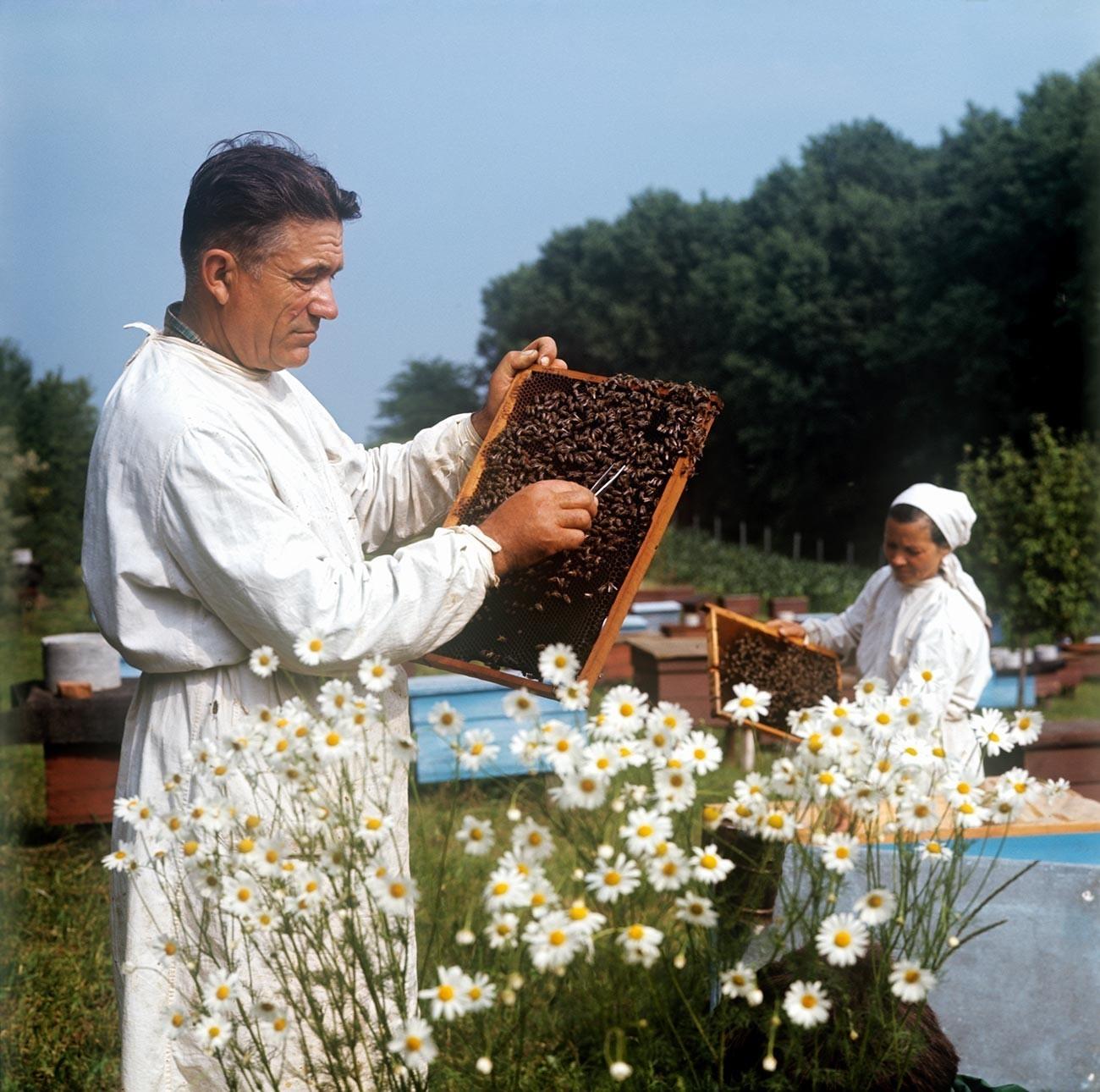 Čebelar Anton Lupulčuk pri čebelnjaku na kolhozu Majak v Dondjušanskem okraju, Moldavska SSR, 1975