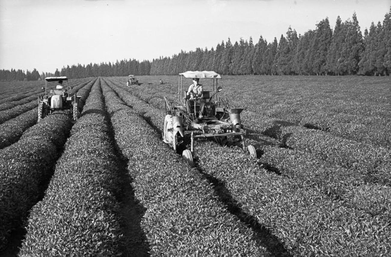Travailleurs dans une plantation de thé en Géorgie dans les années 50