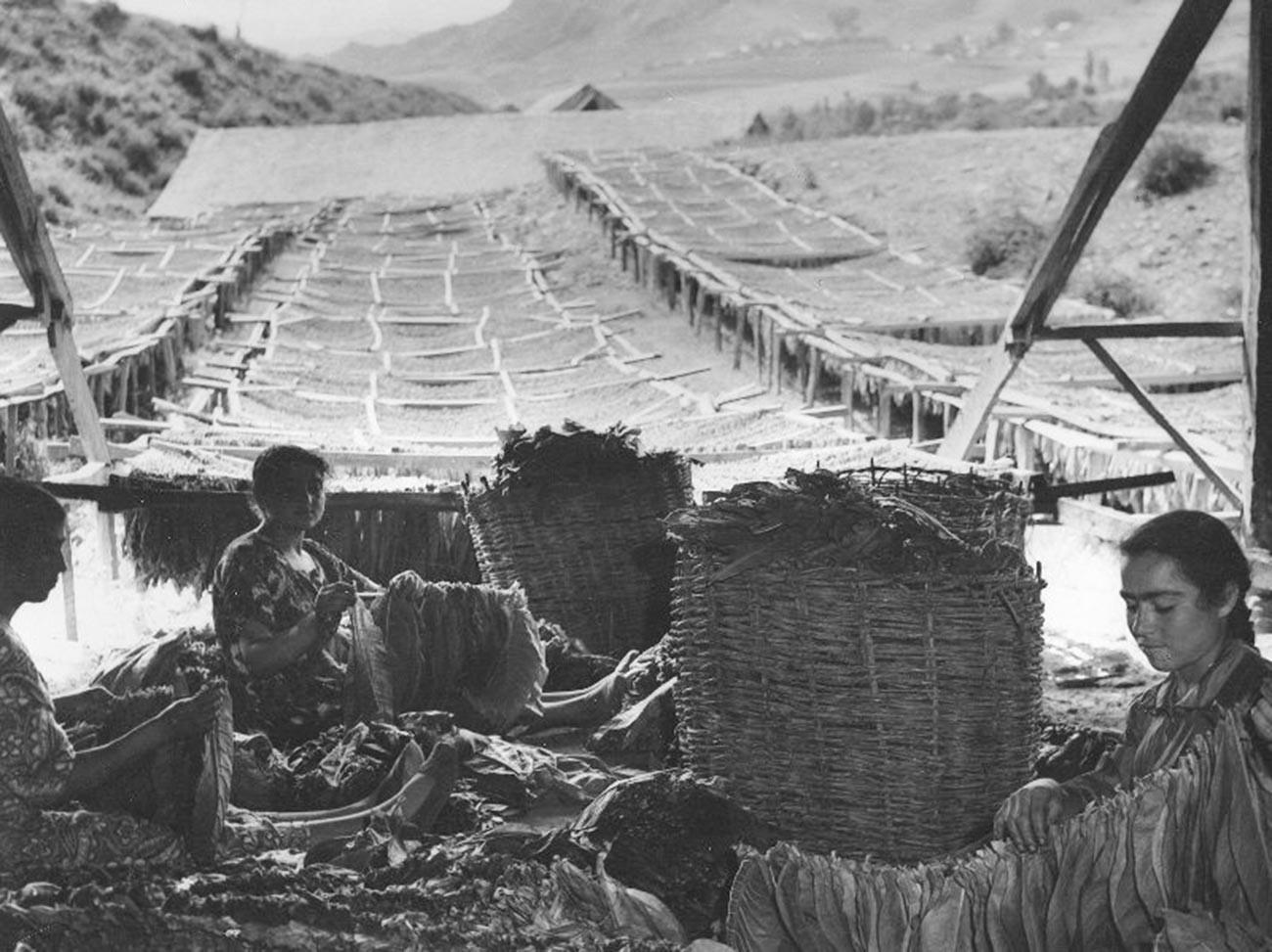 Des femmes travaillant avec des feuilles de tabac en Arménie, dans les années 1950