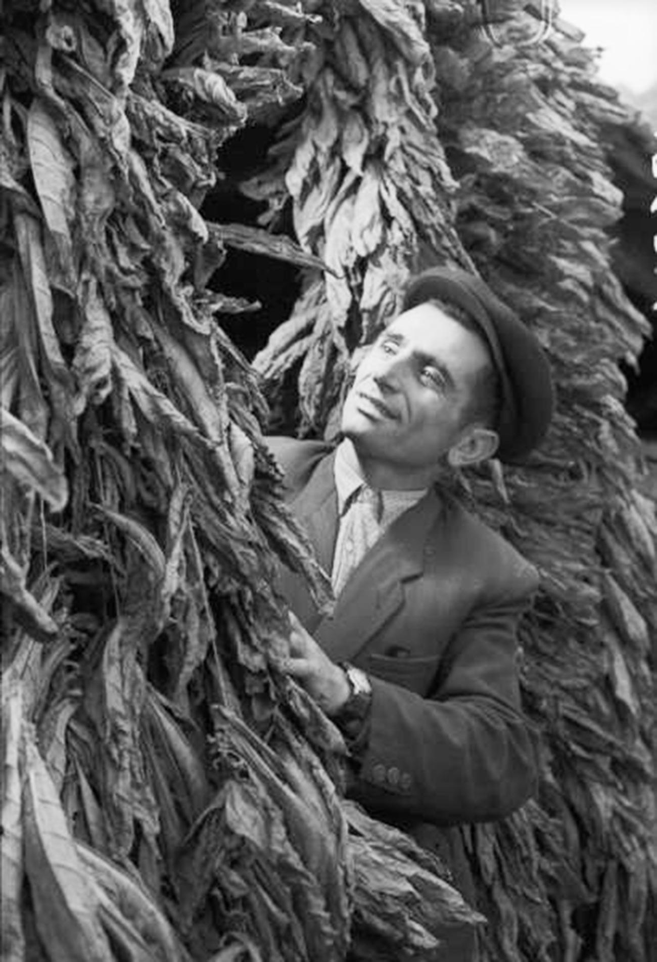 Un Arménien inspectant des feuilles de tabac au début des années 60