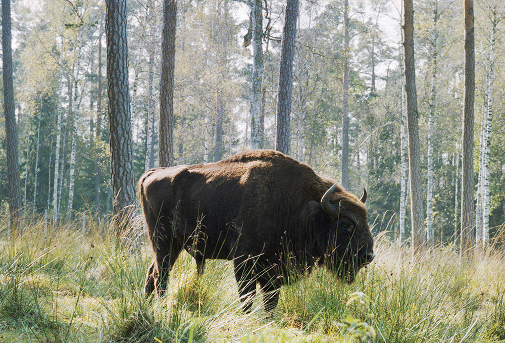 A bison is a symbol of Belovezhskaya Pushcha National Park, 1989