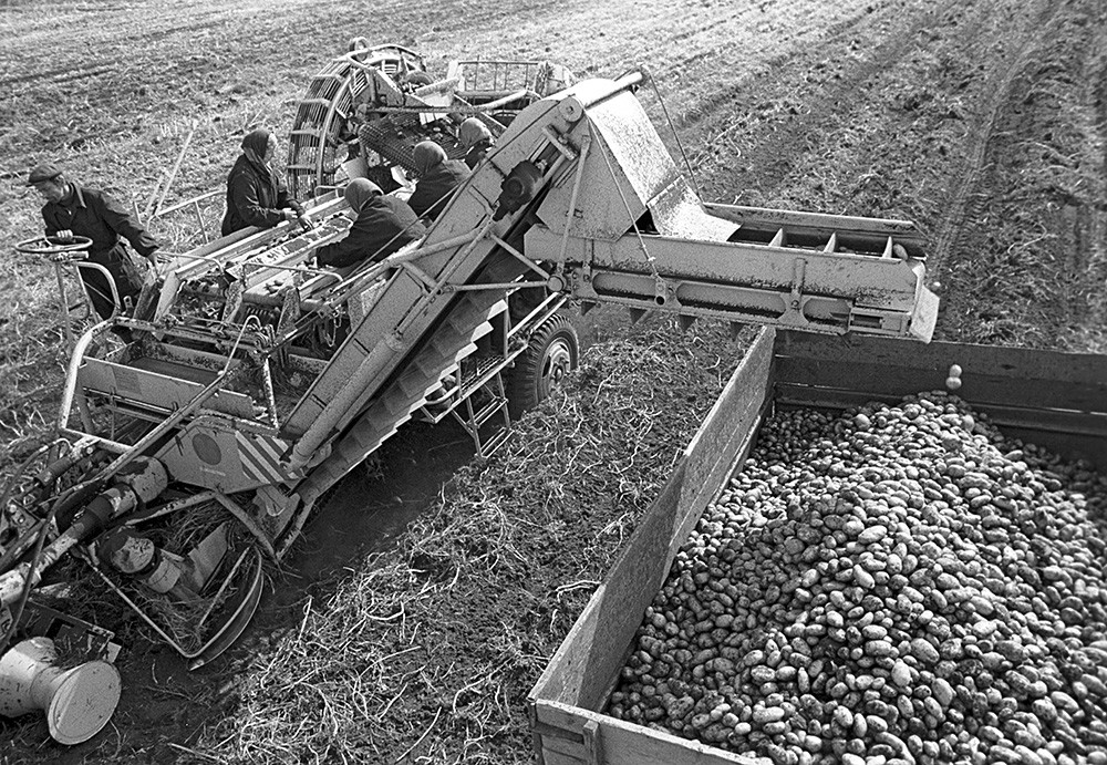 Panen kentang, 1973.