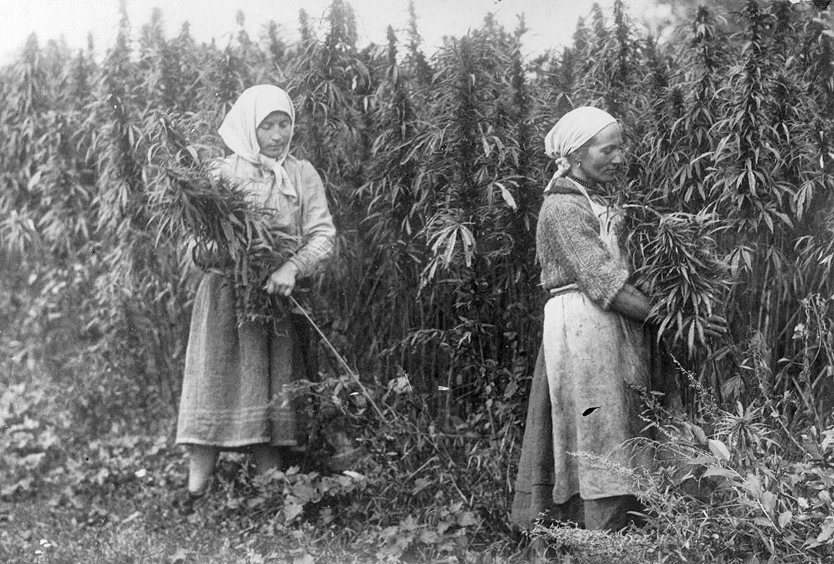 Nabiranje konoplje v Rusiji.