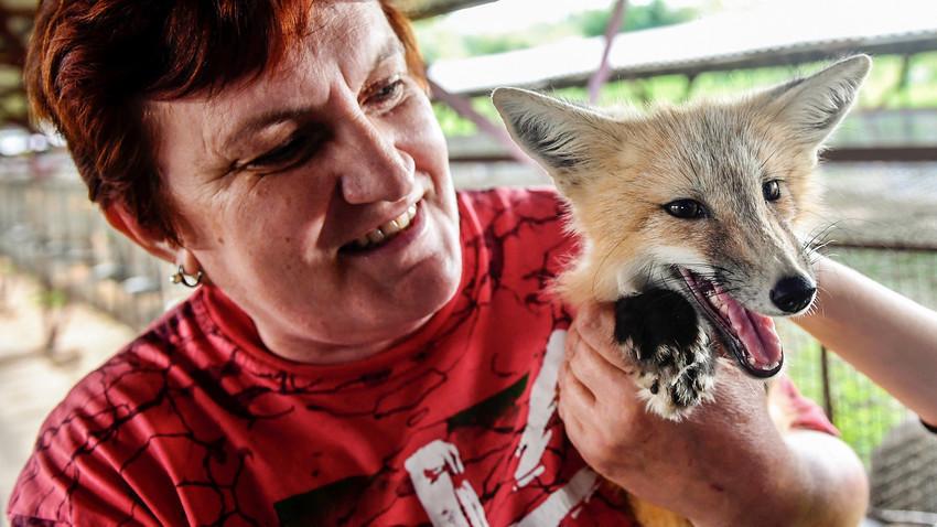 Научник држи припитомена лисица во волиера во експерименталната одгледувачница на Институтот за цитологија и генетика на Сибирското одделение на Руската академија на науките. Новосибирск, Русија, 14 јули 2017 година.