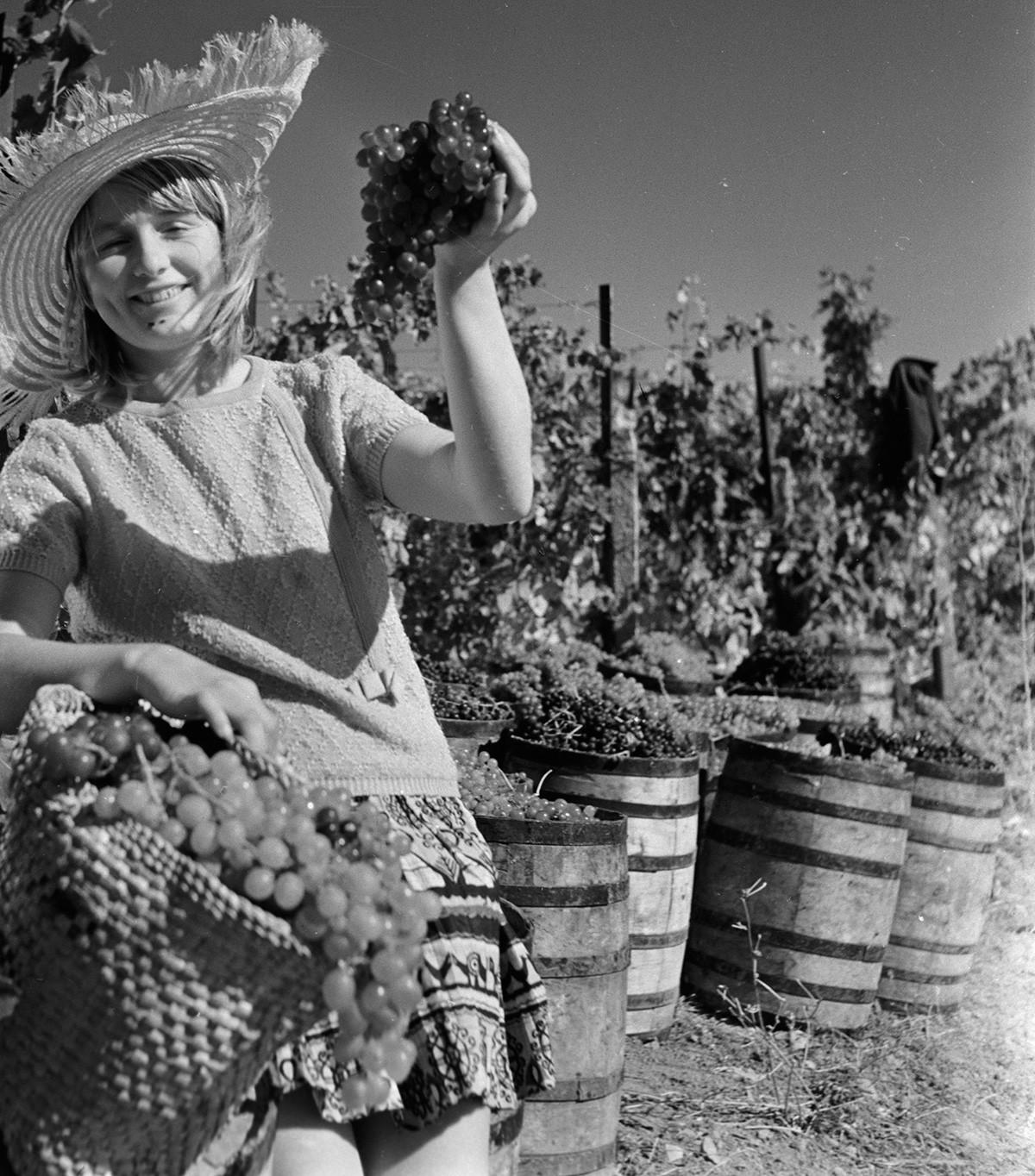 """Берба на грозје во совхозот (државно земјоделско добро во СССР) """"Гурзуф""""."""