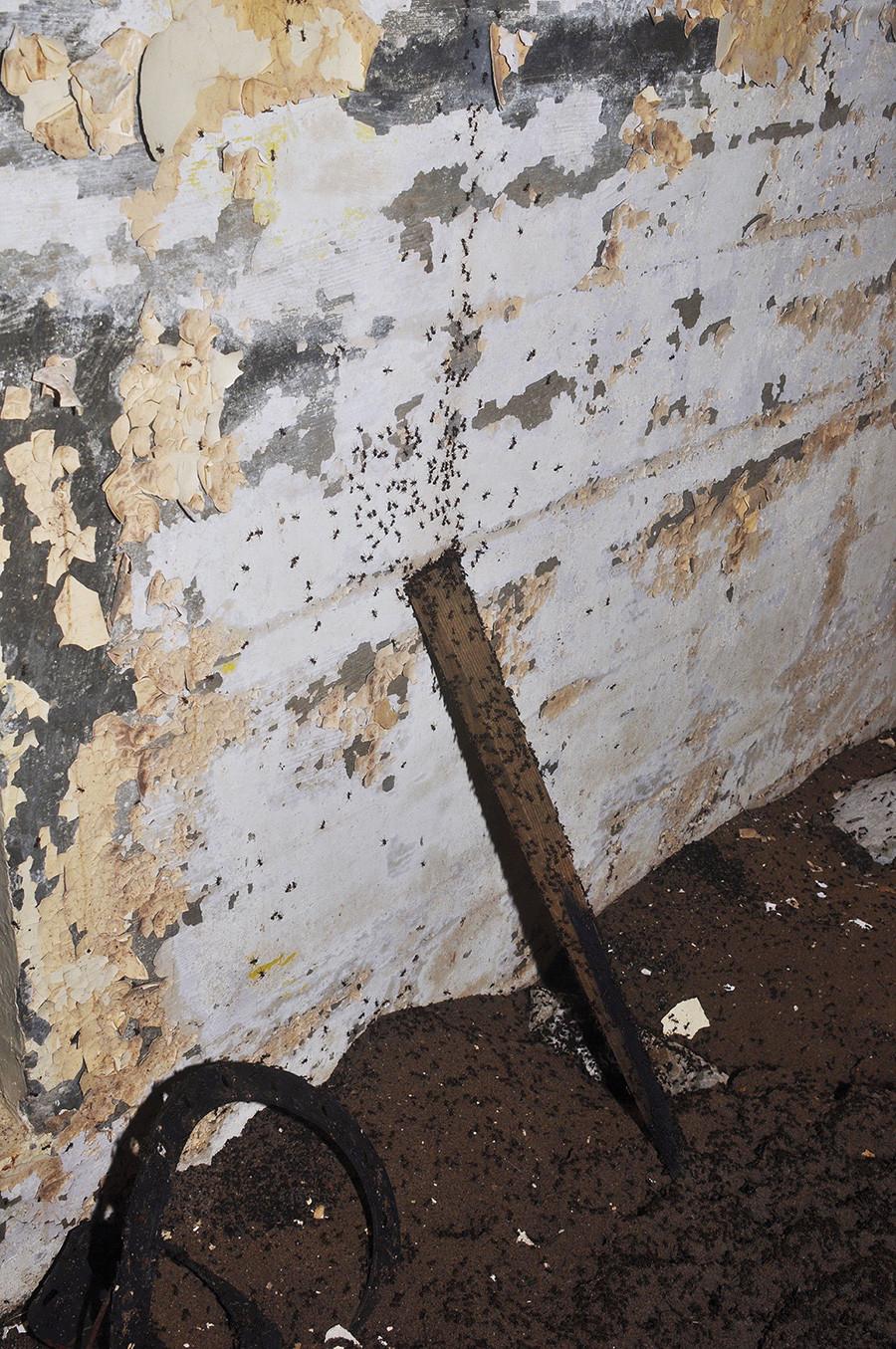 Парче даске прислоњено уза зид послужило је мравима као почетак стазе која води према таваници. Фотографија је направљена 18.09.2016.
