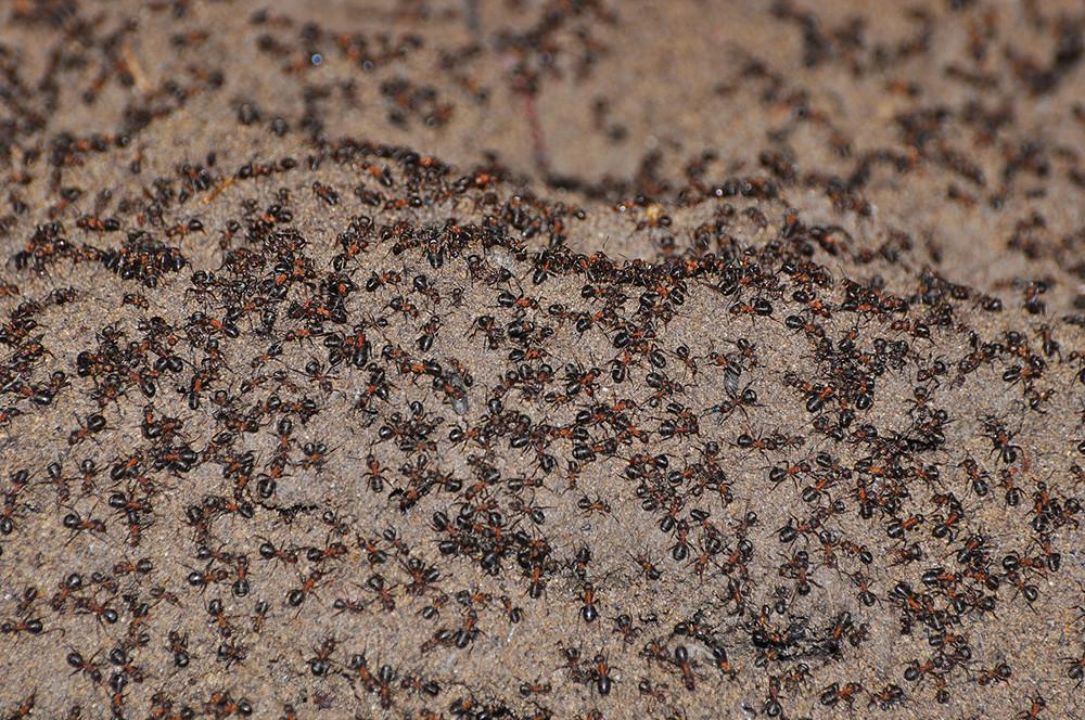 Sul tumulo di terra nel bunker, la densità di formiche era alta nel giorno in cui è stata messa la passerella