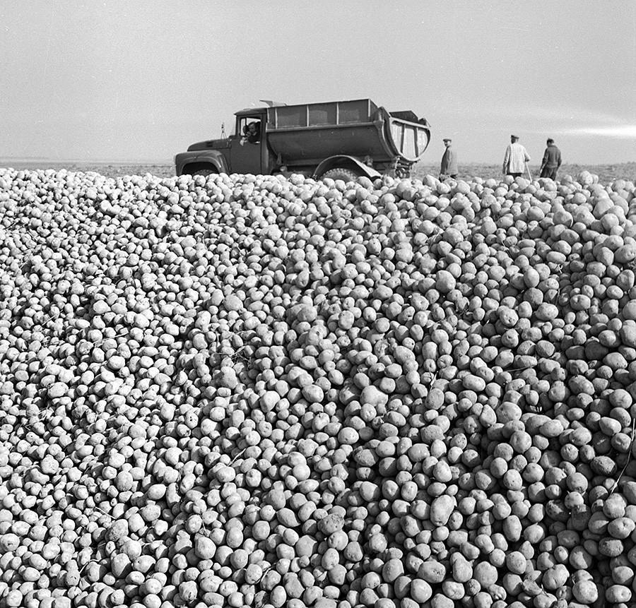 Pobiranje krompirja na kolektivni kmetiji (kolhozu), 1971