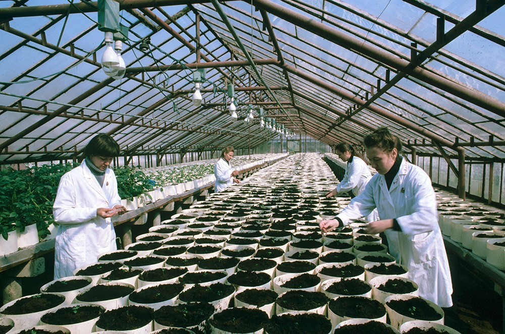 Beloruski Raziskovalni inštitut Reda rdečega prapora dela za gojenje krompirja in hortikulturo, v rastlinjaku za gojenje krompirja, 1984