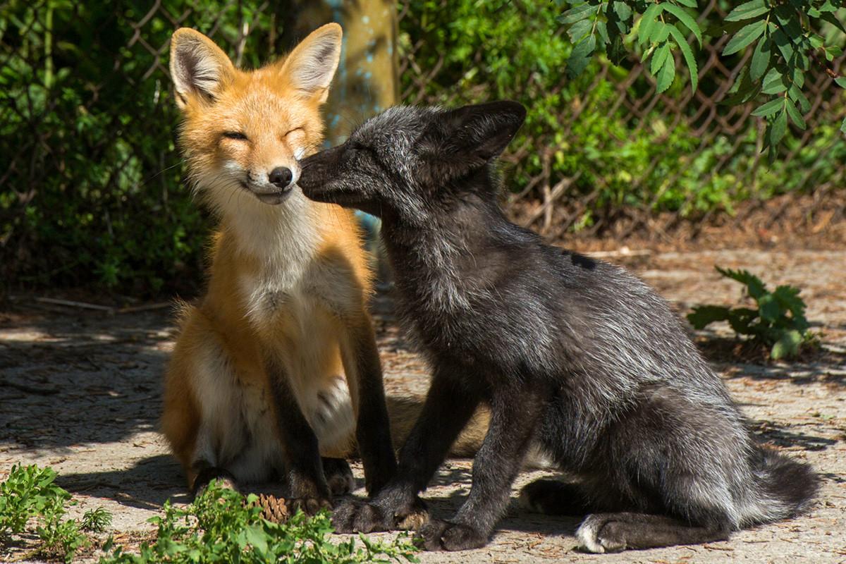Udomačeni lisici v vzrejališču v Novosibirsku