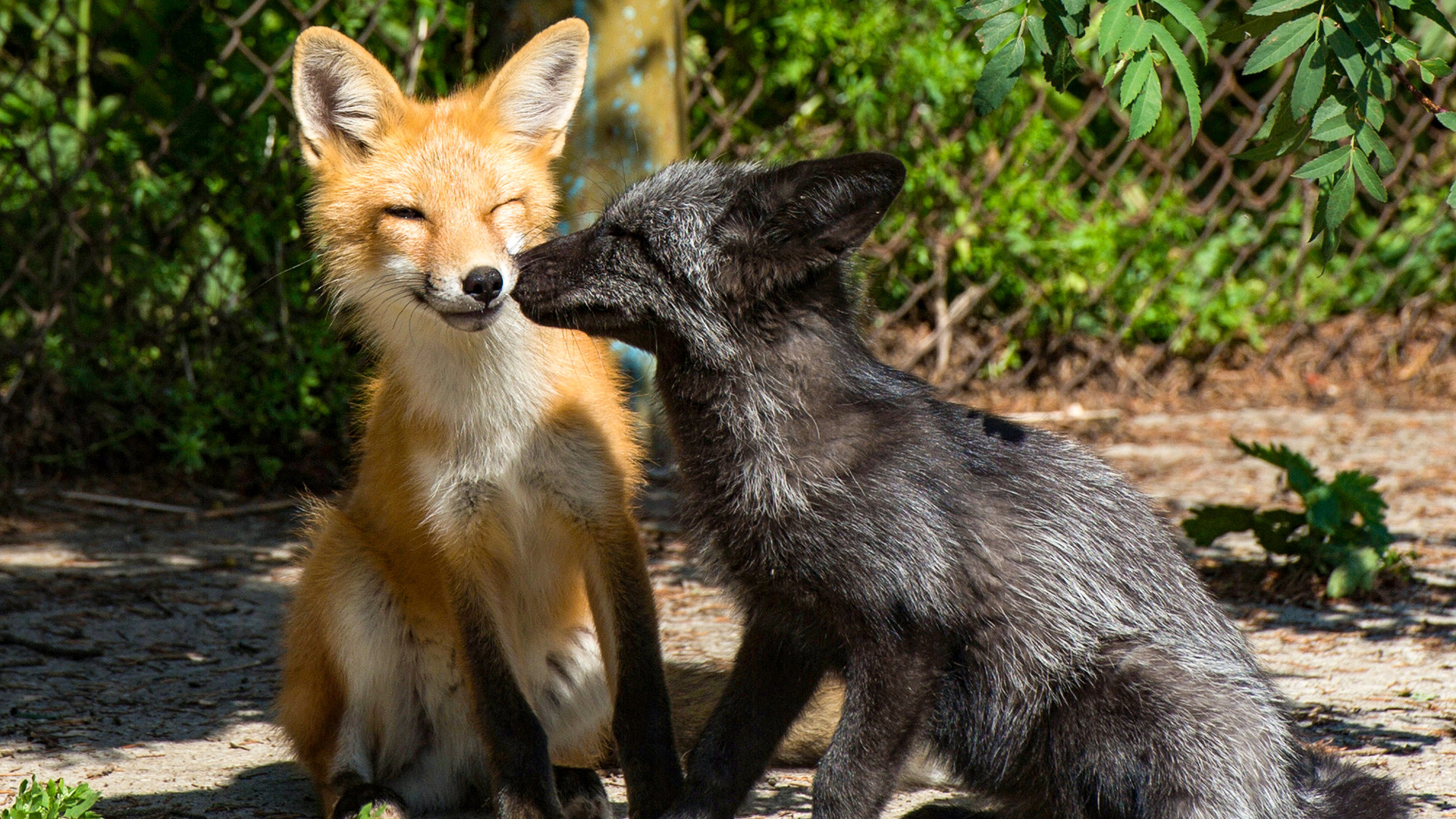 Tame foxes are seen here in the enclosure on the experimental farm of the Institute for Cytology and Genetics of the Russian Academy of Sciences Siberian Branch.