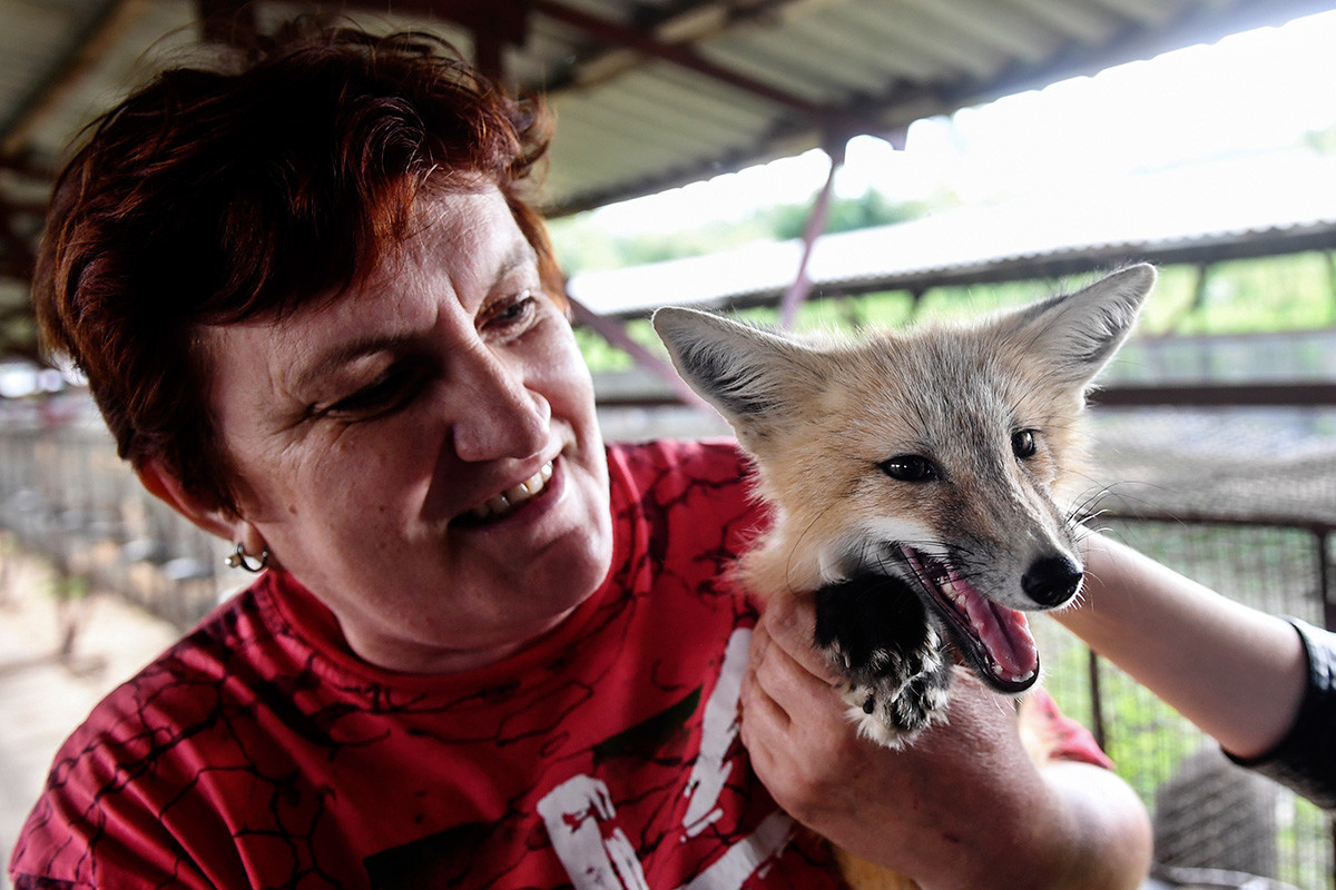 An employee holds a domesticated fox seen in an enclosure at an experimental farm of the Institute of Cytology and Genetics.