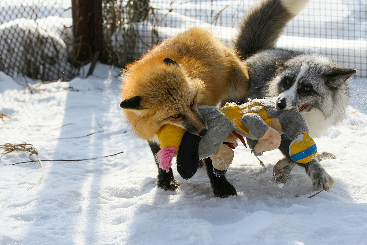 Foxes play at the experimental farm at the Institute of Cytology and Genetics of the Russian Academy of Sciences.