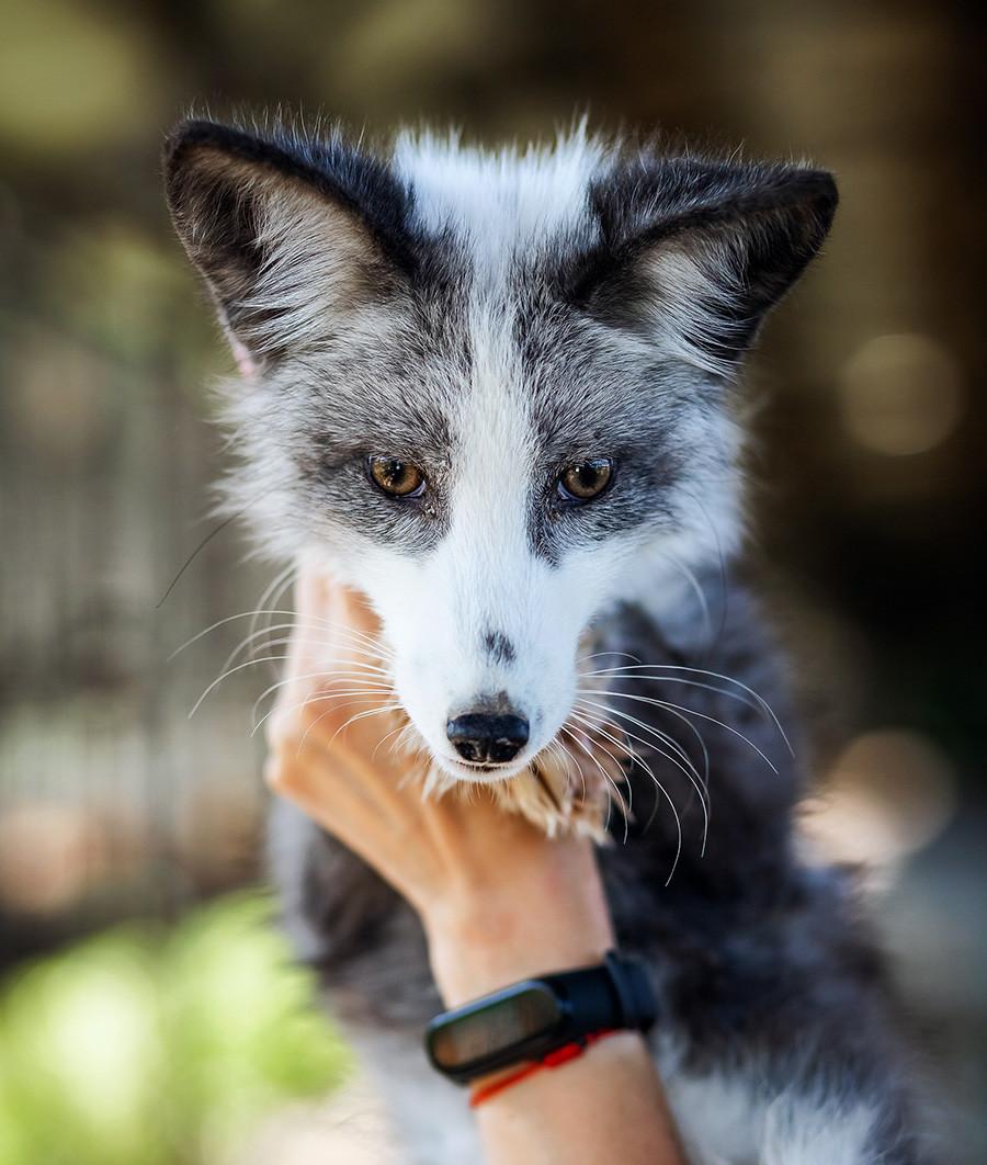 A tame fox.