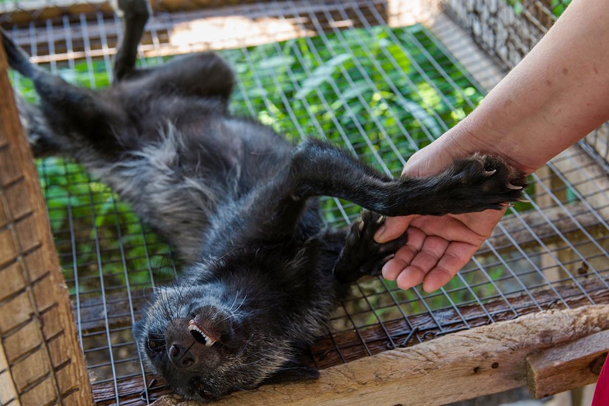 Човек си игра со питома лисица во на експерименталната одгледувачница на диви животни на Институтот за цитологија и генетика на Сибирското одделение на Руската академија на науките.