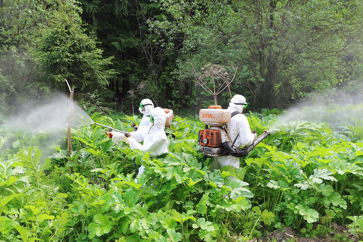 Radnici službe za dezinfekciju prskaju herbicidima borščevik u Podmoskovskoj oblasti.