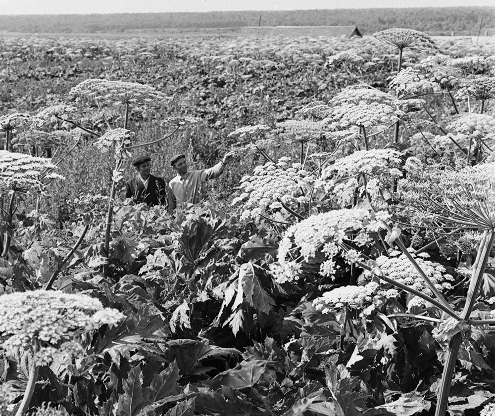 Um sovkhoz na região de Pskov, em 29 de julho de 1974.