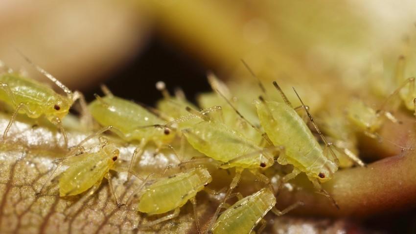 Listne uši (Aphididae). Slika je simbolična.