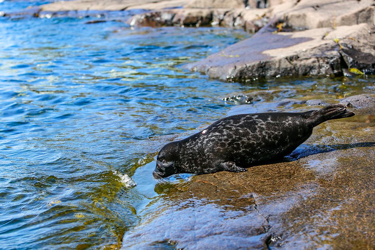 Младунче ладошке фоке по имену Крошик враћа се у воду ладошког језера после опоравка у Центру за проучавање и очување морских сисара.