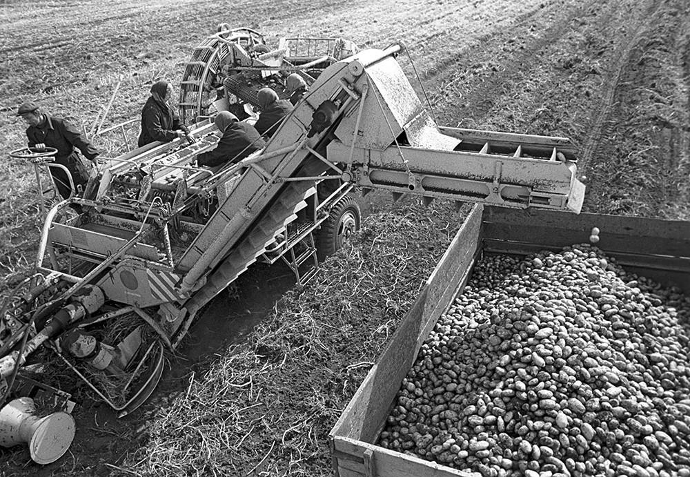 ジャガイモの収穫。1973年