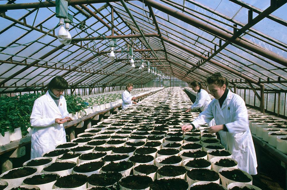 ベラルーシ労働赤旗勲章馬鈴薯果実野菜栽培研究所。ジャガイモを栽培する温室の中。1984年