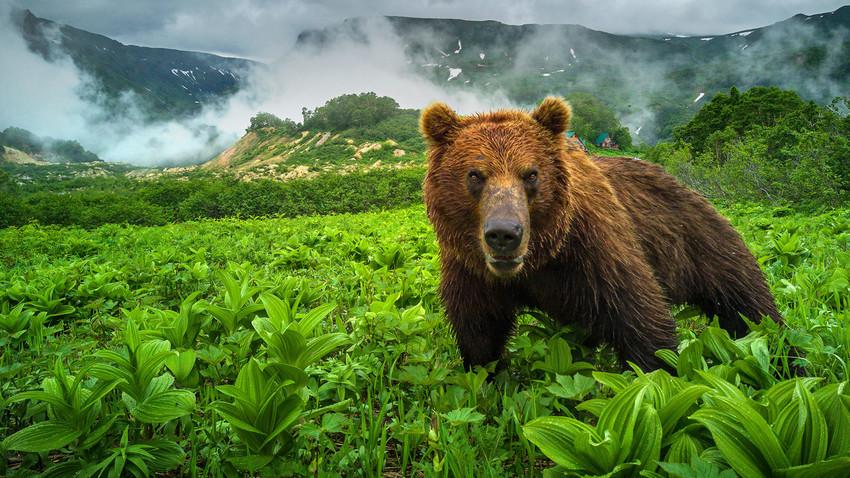 Камчатска кафява мечка