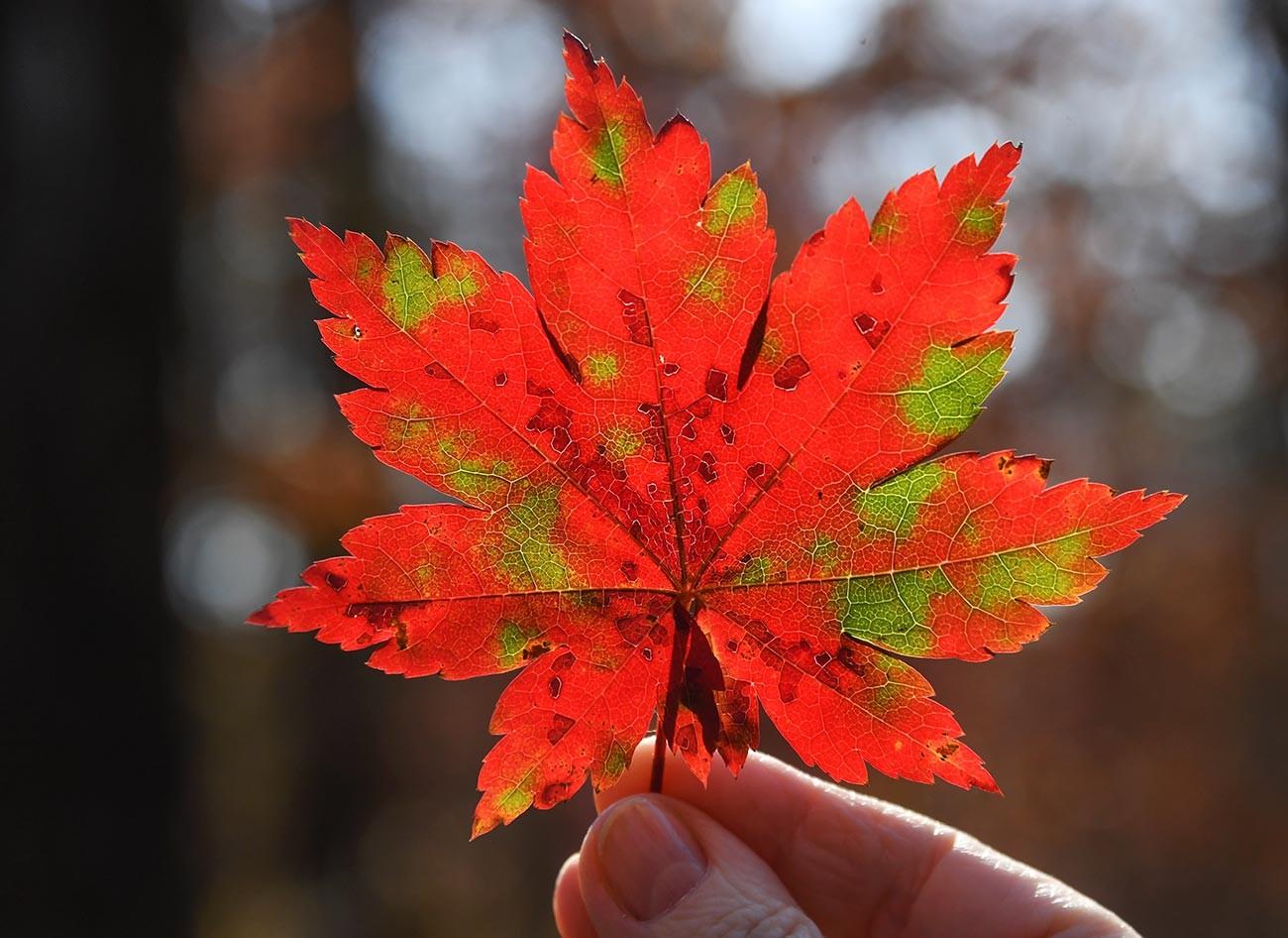 Daun musim gugur di Timur Jauh.