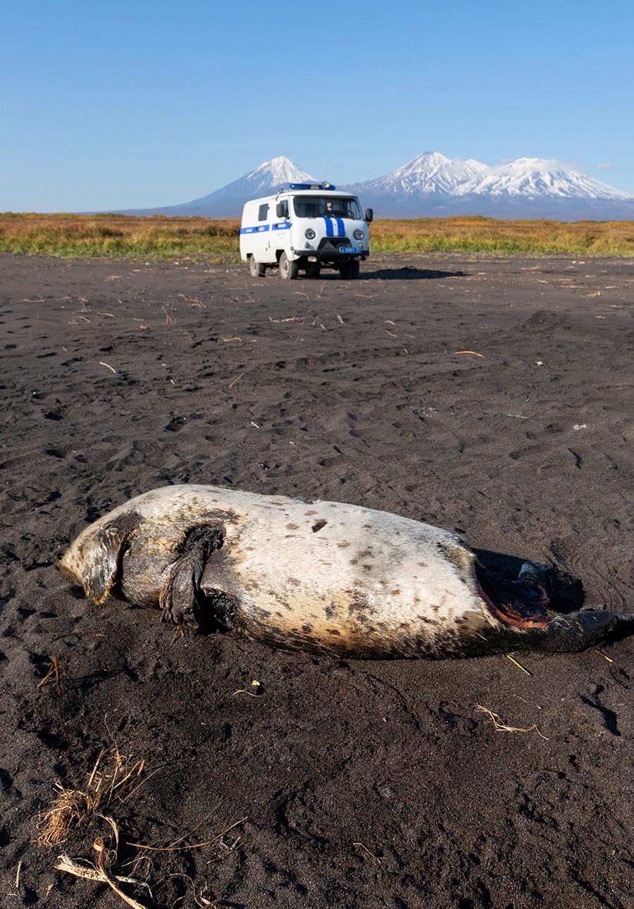 Foca morta na praia Khalaktirski.