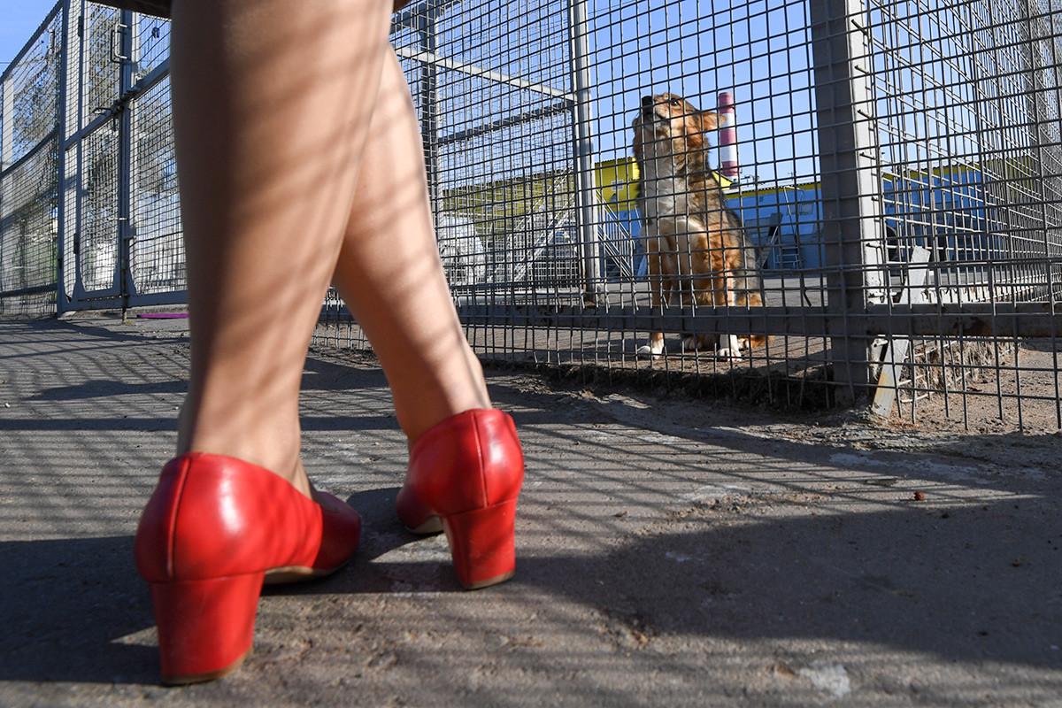 スリモヴ・ドッグはシベリアン・ハスキーとゴールデン・ジャッカルをかけ合わせた犬種だ。