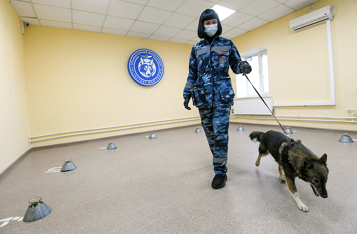 A dog handler trains a service dog to search for COVID-19 patients at the Aeroflot canine unit at Sheremetyevo airport, in Moscow, Russia. 01/10/20