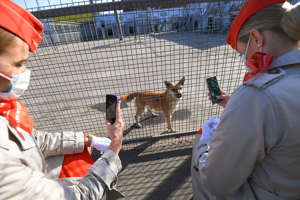 Aeroflot employees photograph Shalaika dogs from the canine division at Sheremetievo Airport