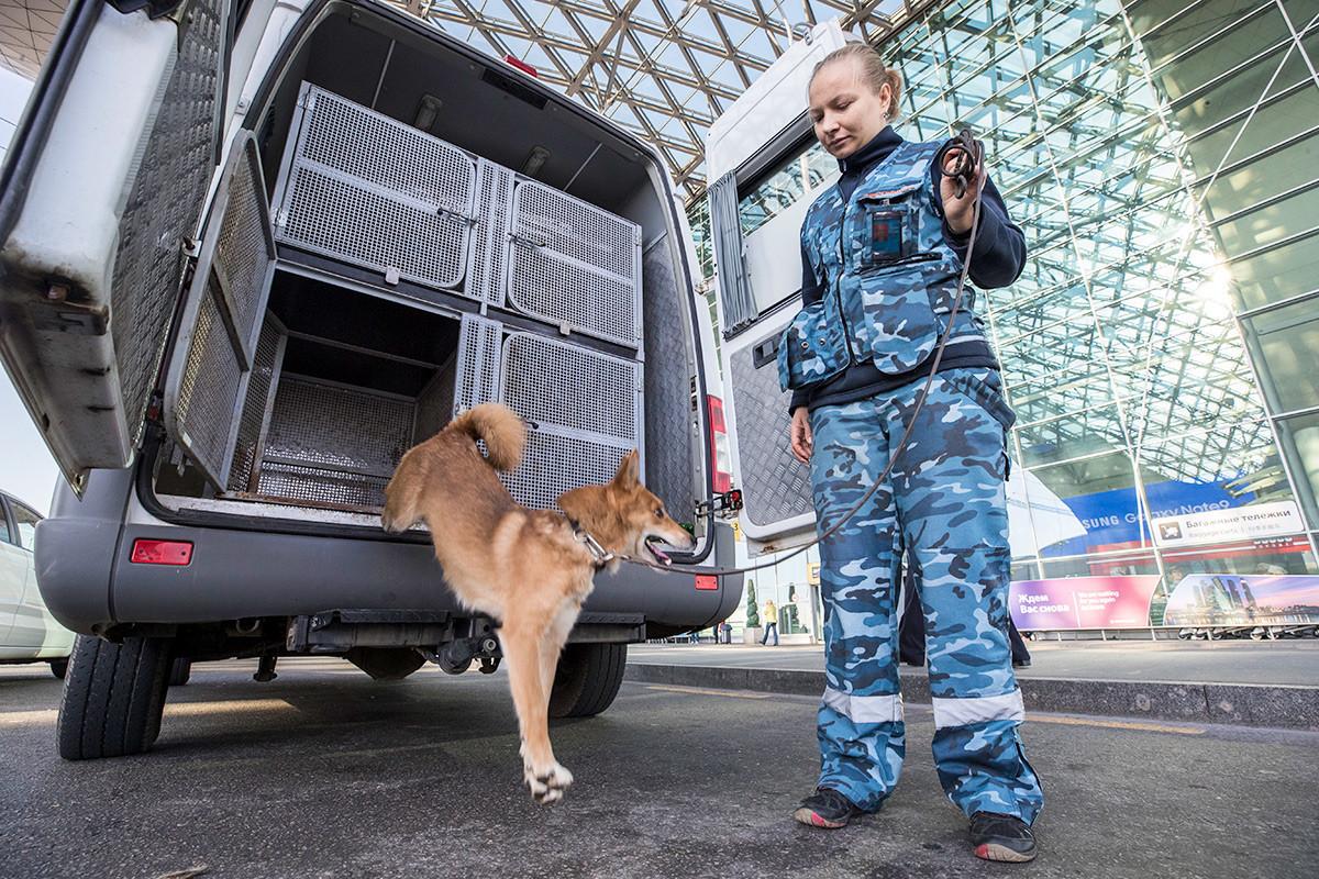 Treinamento de cão da raça Shalaika, pertencente a unidade canina patrulha, no Aeroporto Internacional de Sheremetyevo
