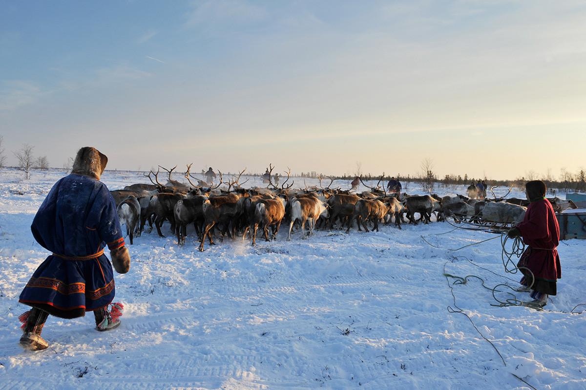 Sur la péninsule de Yamal, dans le Grand Nord russe