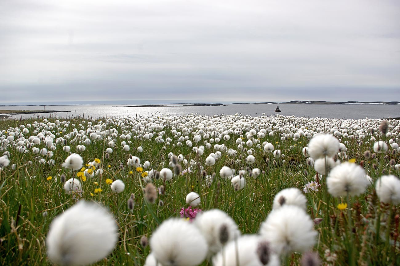 Pamuk na obali Karskog mora.