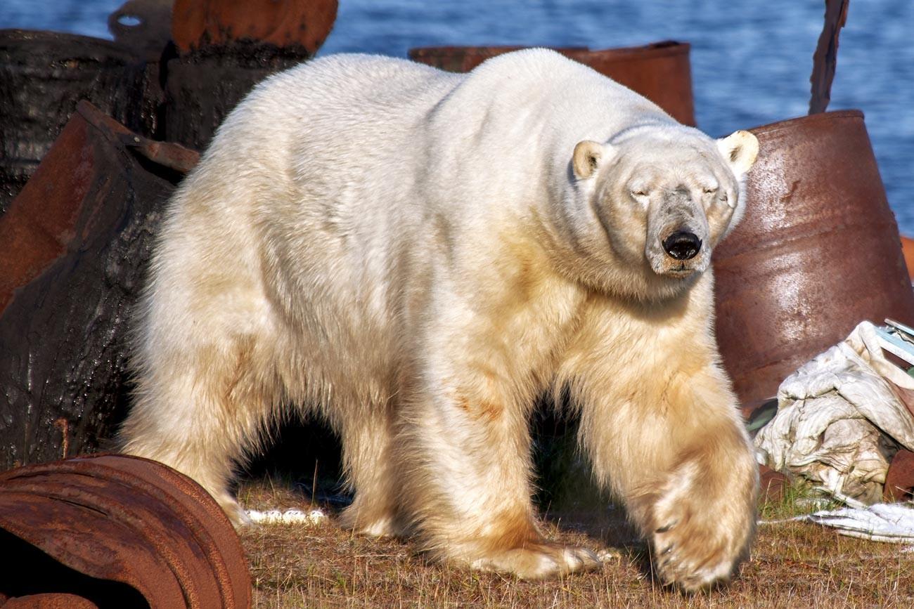 Bijeli medvjed na obali Karskog mora u blizini naselja Dikson.