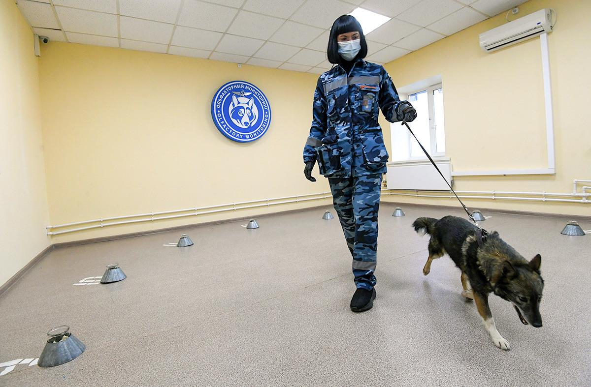Seorang pawang melatih anjing untuk mendeteksi pengidap COVID-19 di unit anjing Aeroflot, Bandara Sheremetyevo, Moskow, Rusia (1/10).