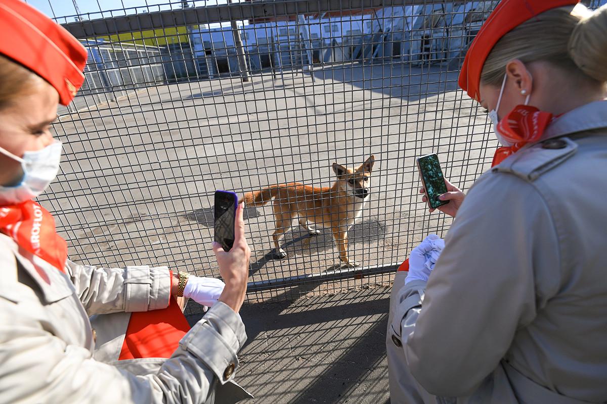 Dua staf Aeroflot memotret anjing shalaika dari unit anjing maskapai persuhaan tersebut di Bandara Sheremetyevo.