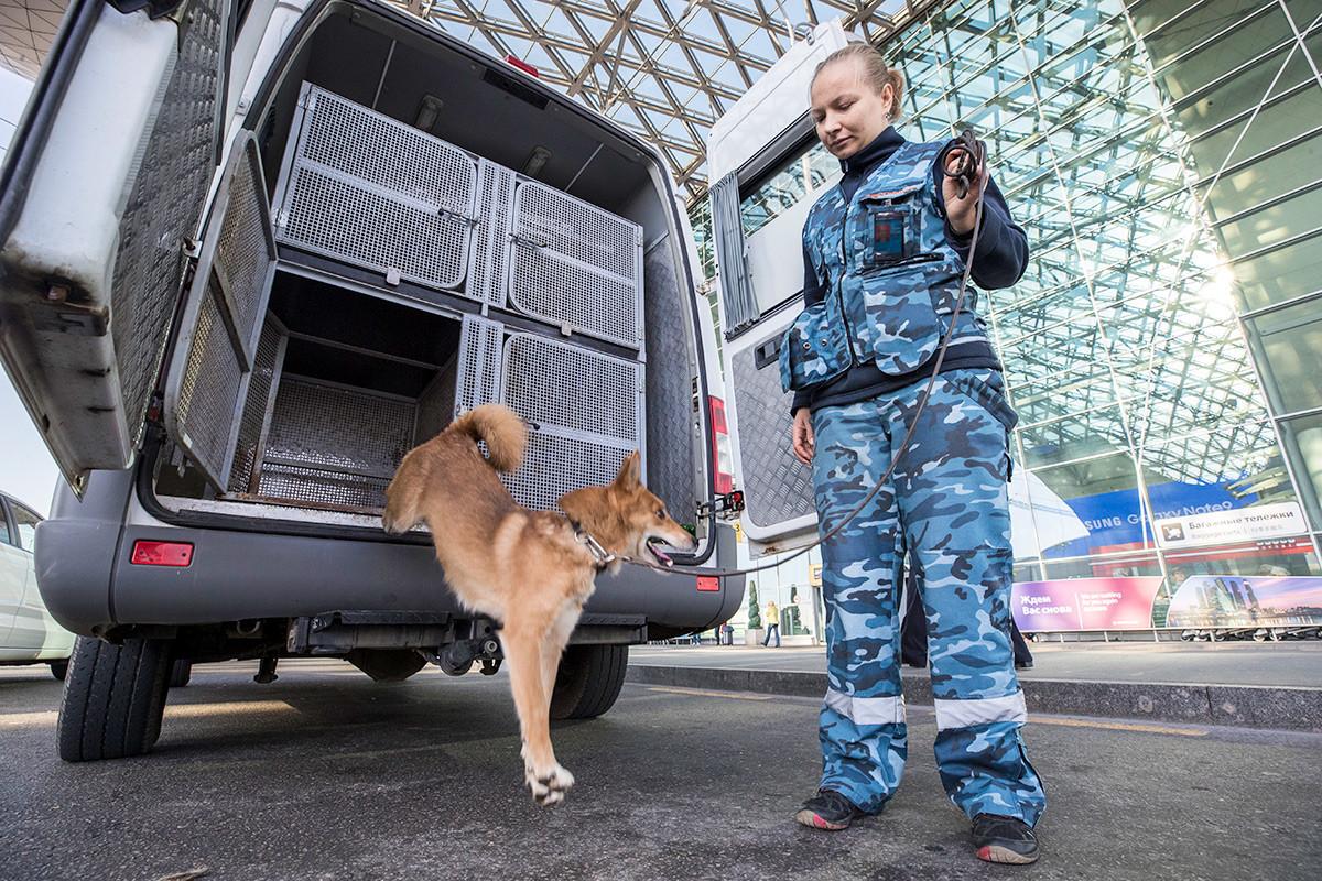 Melatih anjing shalaika dari unit anjing patroli di Bandara Internasional Sheremetyevo, Moskow.