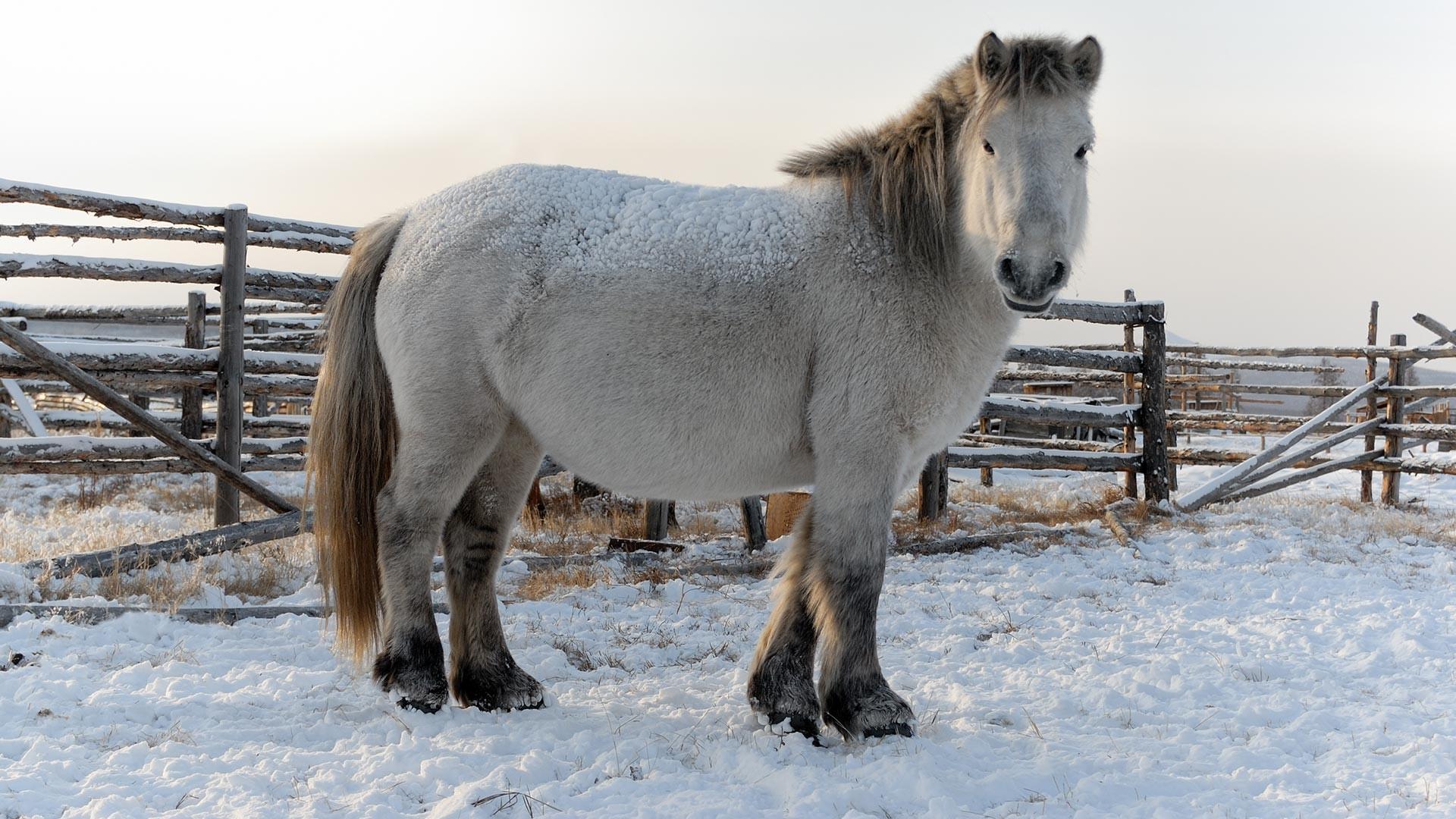ヤクーチアの寒さにもっとも強い馬(写真特集) - ロシア・ビヨンド