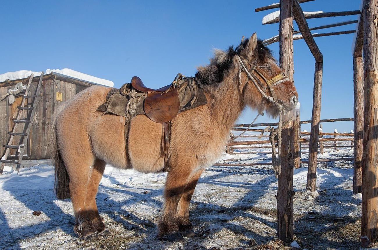 Якутски кон в Оймякон. Тези коне остават навън през зимата, трябва да издържат на температури, които могат да паднат далеч под -60°С, имат невероятна козина и намират храна под снега.