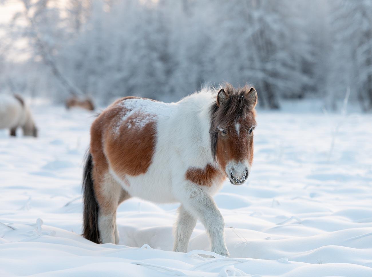 Jakutski konj