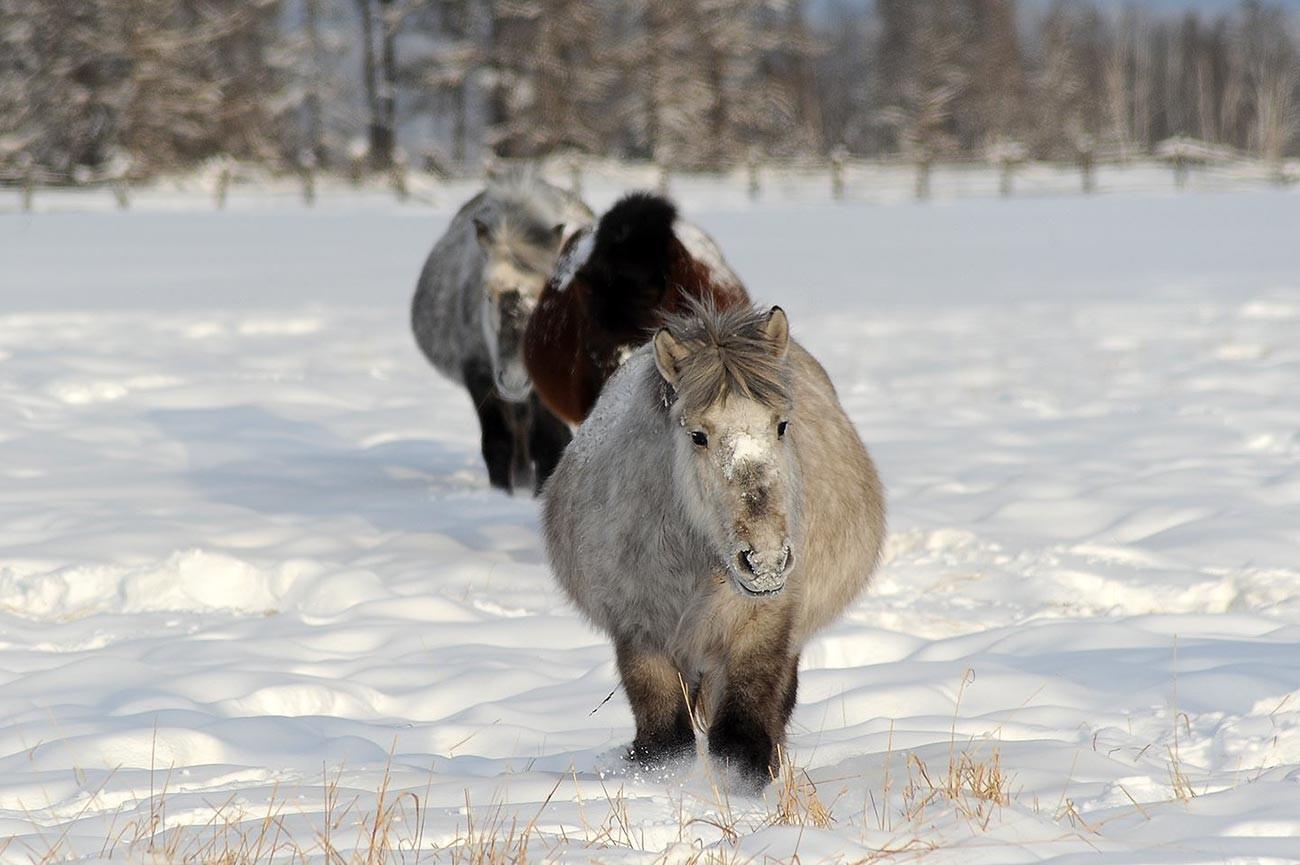 Крдо јакутски коњи (младенци).