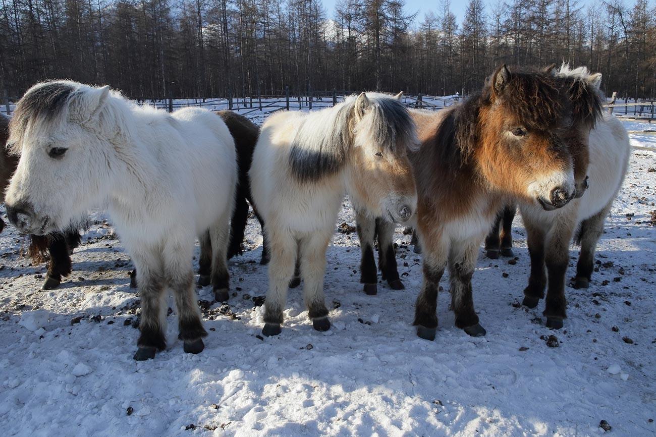 Јакутски коњи