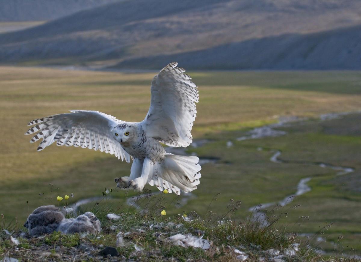 """Regreso"""", Hembra de búho nival vuela de al tras una caza infructuosa, isla Wrangel"""