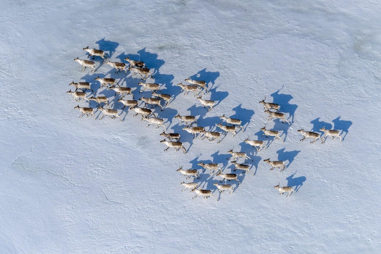 Inicio de la migración de los renos del norte en la meseta de Putorana