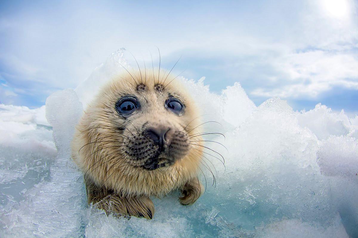"""""""Kikoriki del Baikal"""", una foca del Baikal, una especie que solo vive en el famoso lago"""
