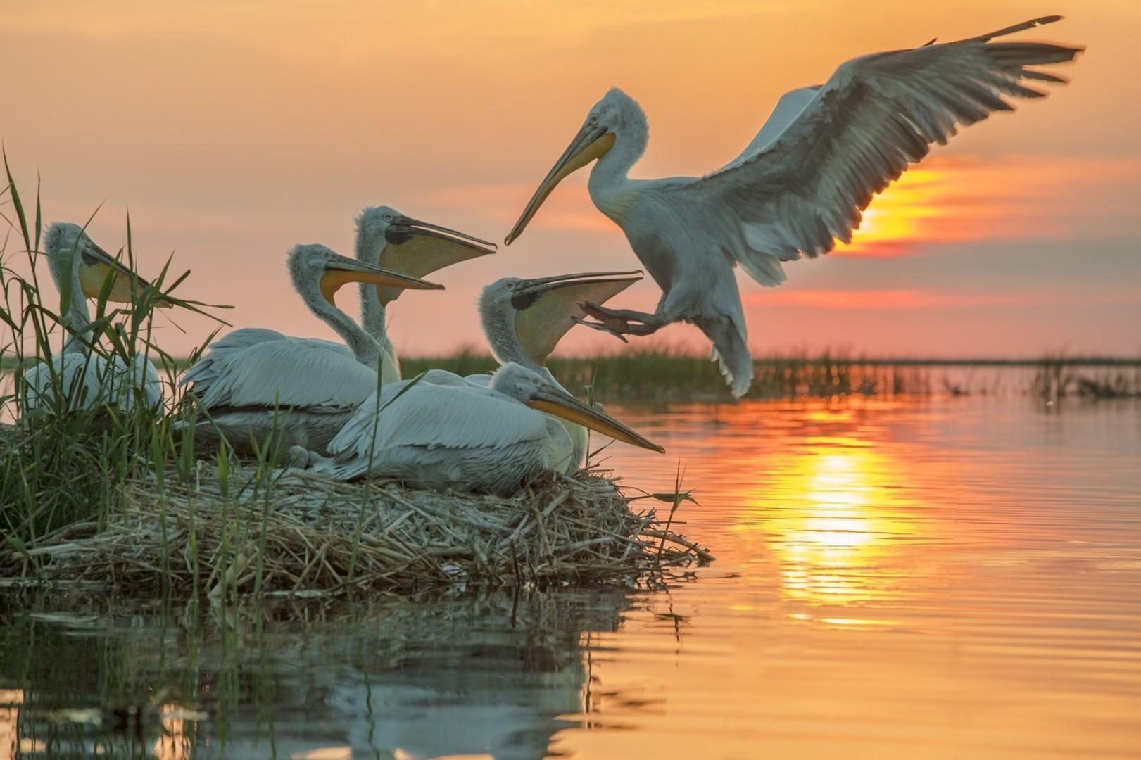 Pelicanos na área conhecida como Trans-Ural